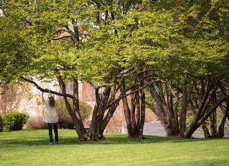 Woman ties ribbon to Lakewood Cemetery's Living Memory Tree